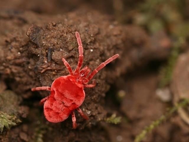 Výsledek obrázku pro pavoučí roztoči